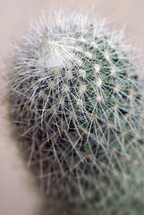 Cactus mammilaria plant