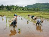 Fototapety workers in rice paddy
