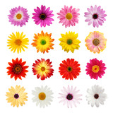 Daisy collection isolated on white with clipping path