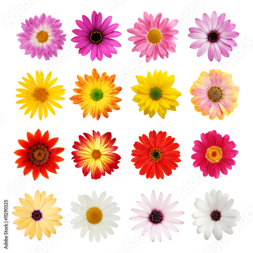 Foto op Aluminium Gerbera Daisy collection isolated on white with clipping path