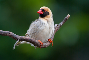 Red-billed quelea adult male