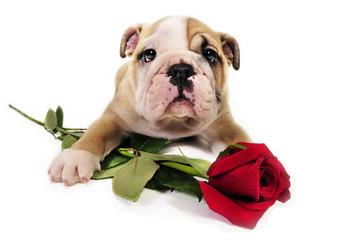 English bulldog puppy with valentine rose.