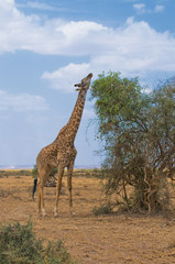giraffe and a tree