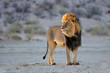 Big male African lion (Panthera leo), Kalahari, South Africa