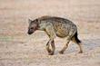 Spotted hyena (Crocuta crocuta), Kalahari desert, South Africa