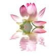 fleur rose de lotus