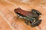 Poison frog Epipedobates bilinguis from ecuador poster