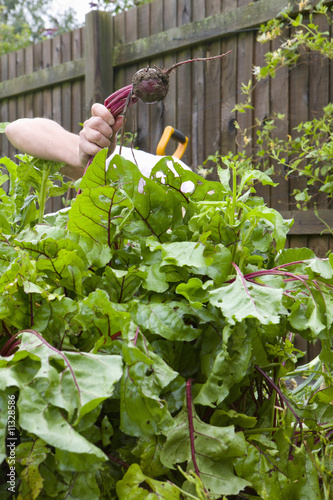 Woman harvesting fresh beet from garden