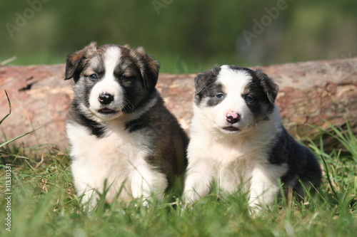 duo de chiots border collie à la campagne