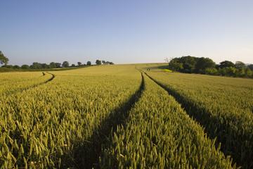 Tracks in wheat field