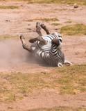 zebra taking dust bath poster
