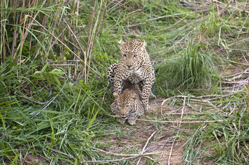 This is a once in a lifetime shot of mating leopards at Kruger n
