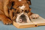 english bulldog reading novel - dog obedience school poster