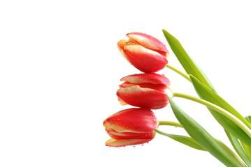 Frühling - Tulpen