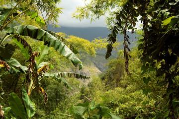 bambous et bananiers