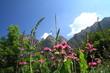 Wildblüten auf Berwiese in den Alpen, Piemont , Italien