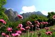 Wildblüten auf Berwiese in den Alpen, Piemont, Seealpen