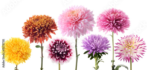 Foto op Canvas Dahlia Set of dahlia flowers
