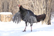 Wild Turkey Flapping Wings