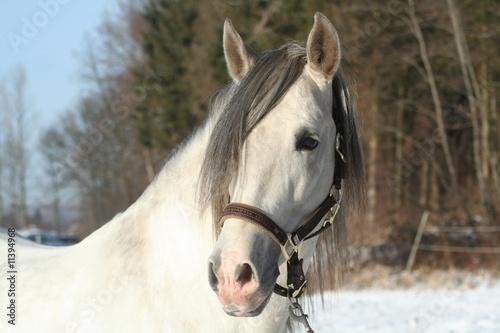 Fototapeten,grau,hengst,pferd,tier