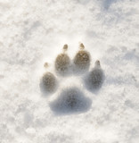 Paw Print in Snow poster