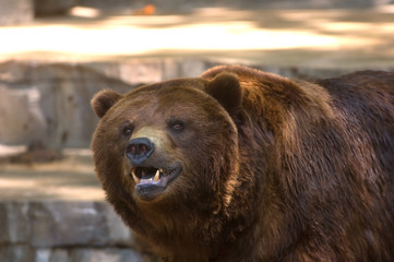 Grizzly bear showing its teeth
