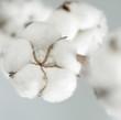 roleta: cotton