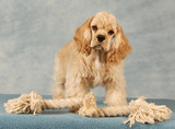 cocker spaniel puppy playing with tug rope toy poster