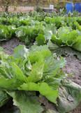 Biological salad poster
