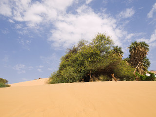 Trees on sand dunes. Egypt series