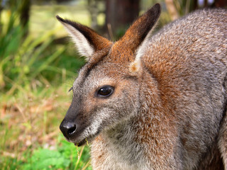 Wallaby (Red-necked)