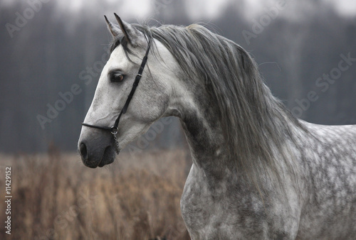 Grey stallion on field
