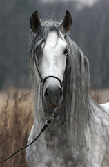 Grey stallion portrait