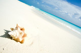 Conch shell on caribbean beach poster