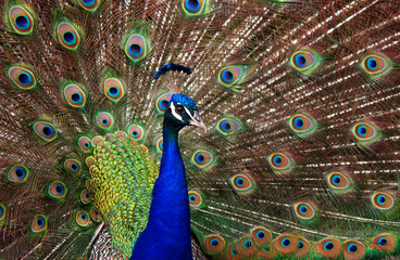 Profile of a peacock (Pavo cristatus).