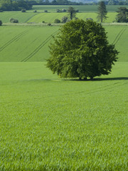 Tree in green barley field