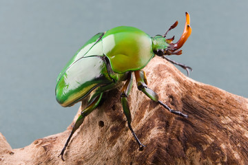 Flower Beetle