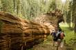 Men Hiking Along Fallen Redwood Tree
