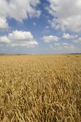 Clouds in blue sky over wheat field