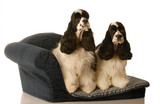 two american cocker spaniel dogs sitting on a doggy couch poster