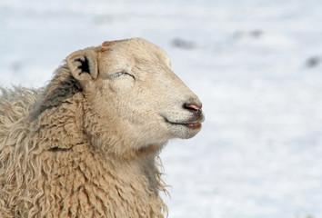 Schaf sonnt sich