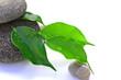 feuilles de ficus sur des galets basaltiques