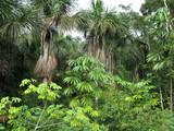 Vegetation Regenwald, Amazonien - Brasilien