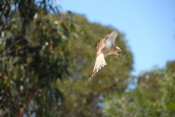 Rapace en vol en Australie