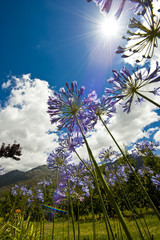 Purple Agapanthus from bugs view, lens flare.