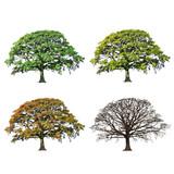 Fototapety Oak Tree Abstract Four Seasons