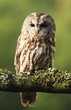 Eurasian Tawny Owl 2