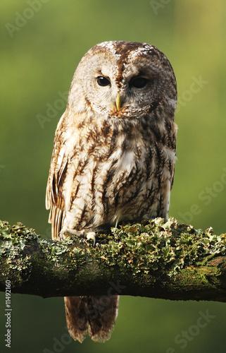 Staande foto Uil Eurasian Tawny Owl 2