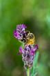 Closeup of Bee on Spanish Lavendar