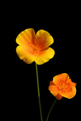 Kalifornischer Mohn - California poppy 06